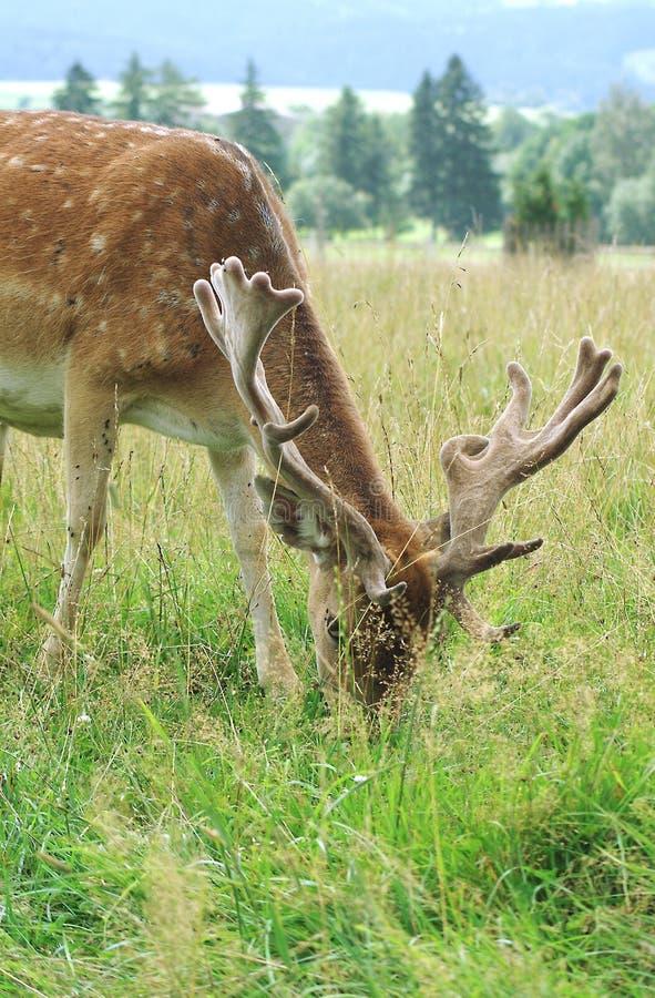 jeleni ugory obrazy stock