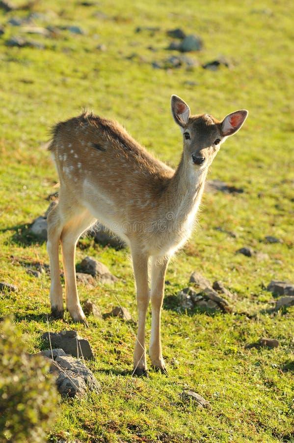 jeleni ugory zdjęcia royalty free