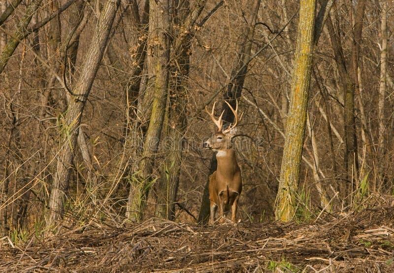 jeleni whitetail obraz stock