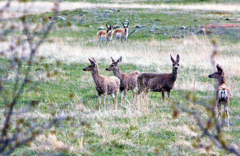jeleni whitetail obrazy royalty free