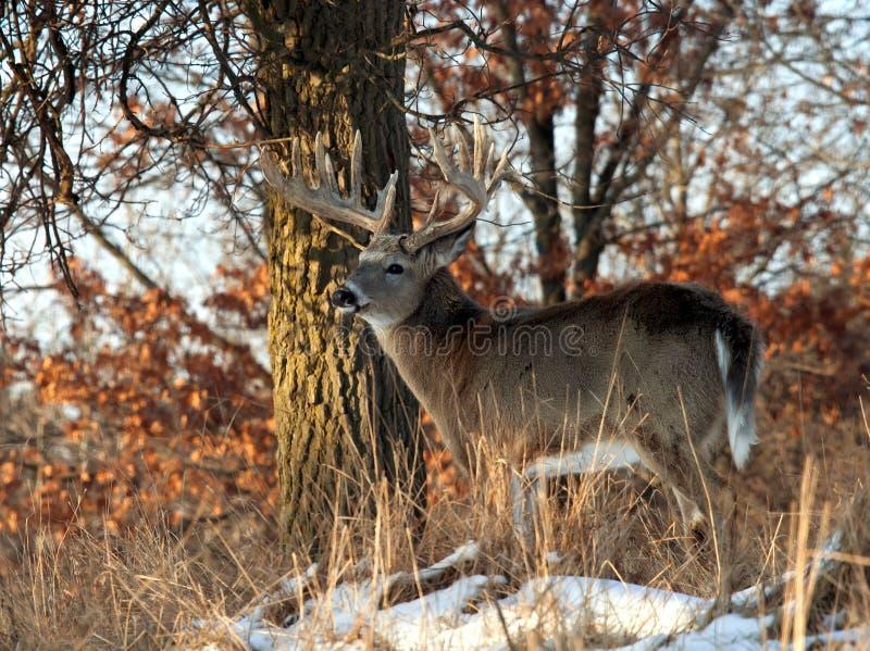 jeleni whitetail zdjęcie stock