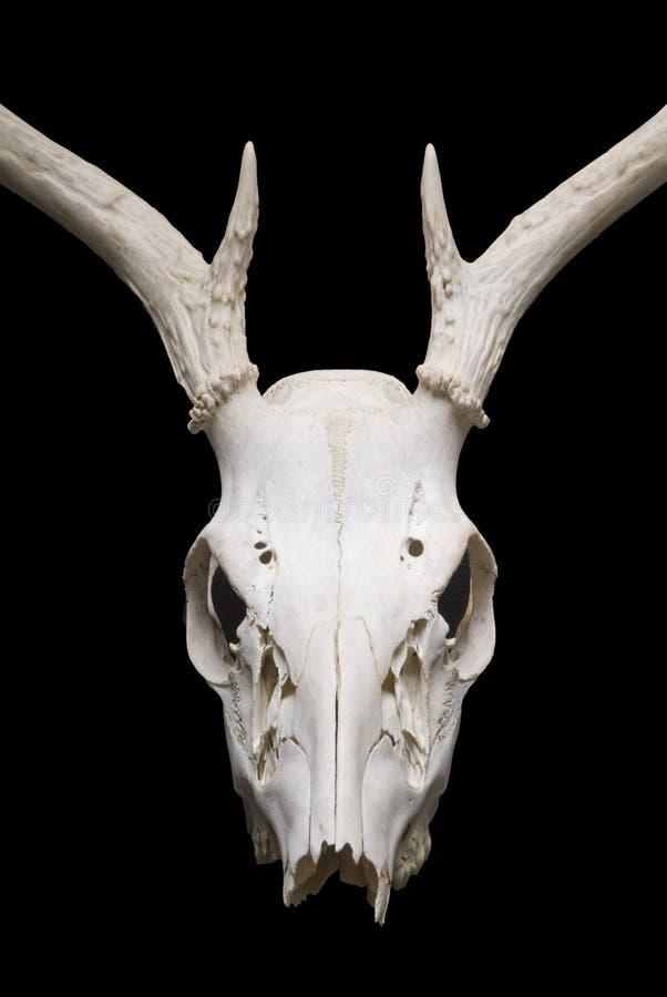 jelenia czaszka fotografia stock