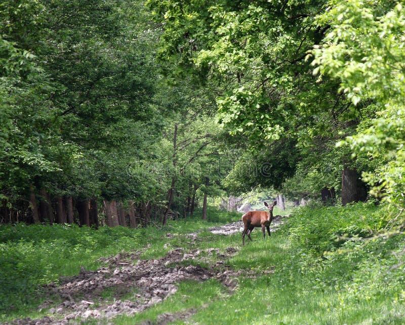 Download Jelenia królica w lesie obraz stock. Obraz złożonej z natura - 53780517
