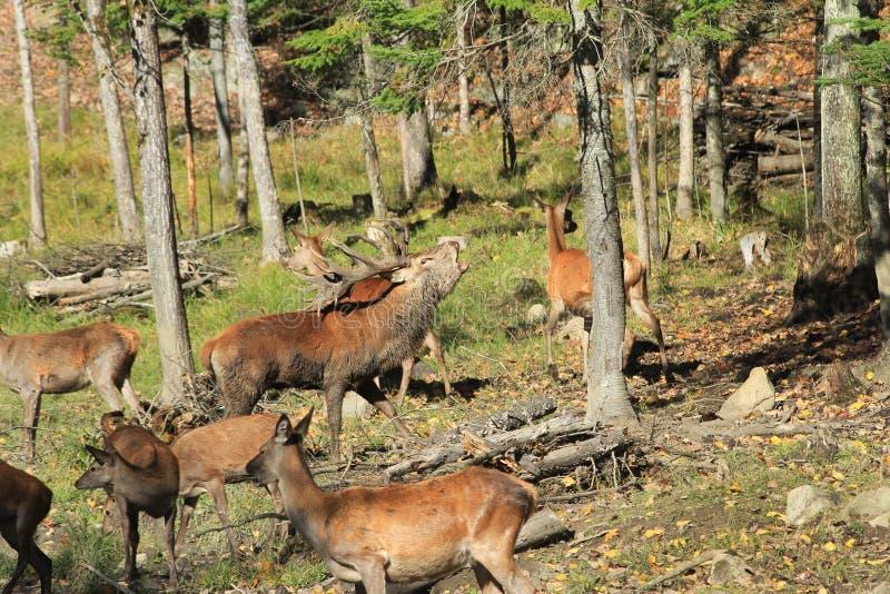 jelenia męska czerwień obraz stock