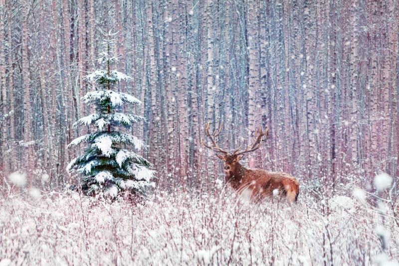 Jelenia samiec z dużymi rogami i osamotnionym świerkowym drzewem w zima śnieżnym lesie zdjęcie stock