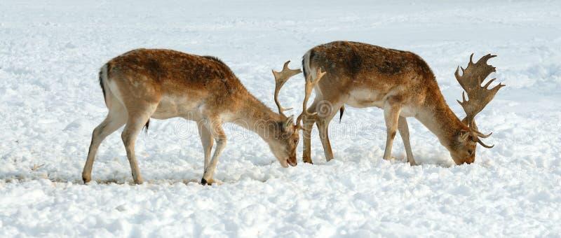 jelenia ugorów samiec zima zdjęcia royalty free