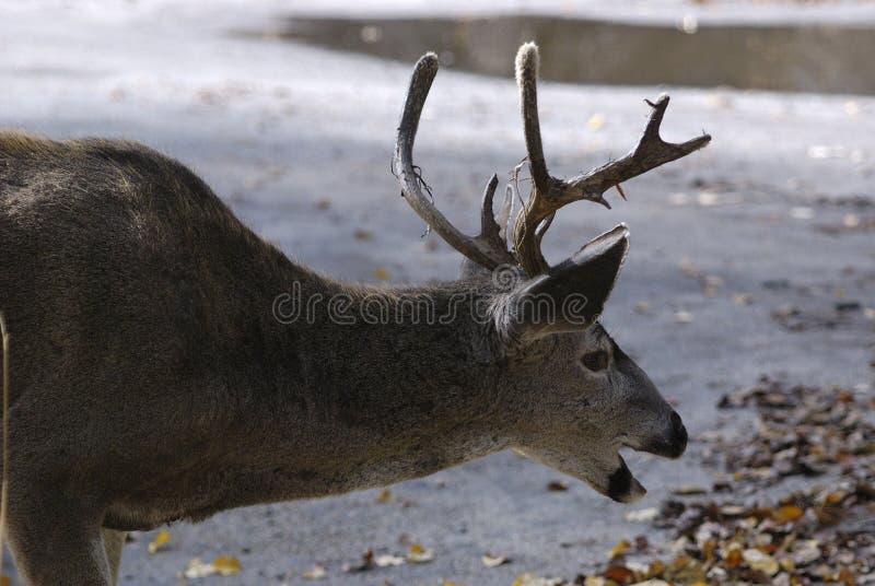 jelenie śmiać zdjęcia stock