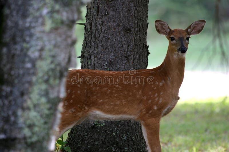 jelenie zdjęcie stock