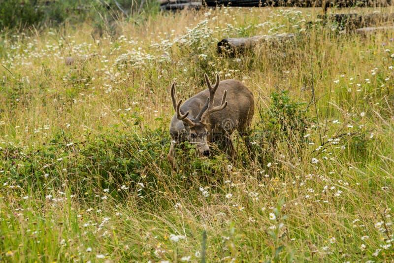 jelenie odpocząć rogacz je trawy zdjęcie royalty free