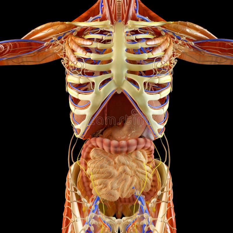 Jelito, trawienny system, żołądek, esophagus, dwunastnica, dwukropek z elongated cieniem Ludzka anatomia ilustracji