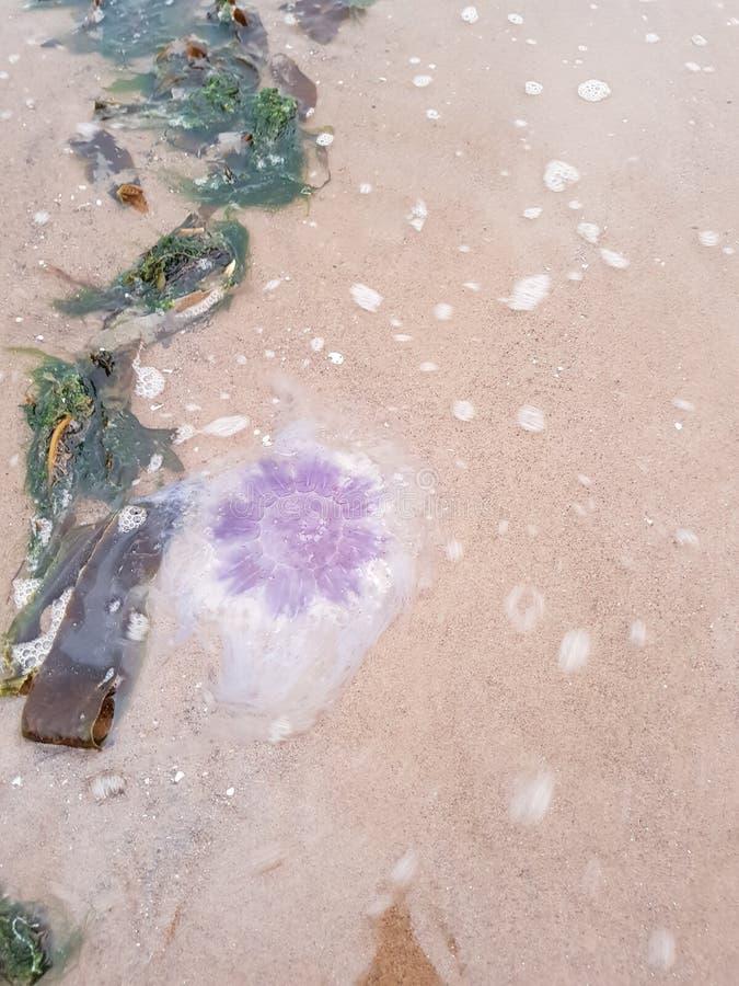 Jelly Fish fotografia stock libera da diritti