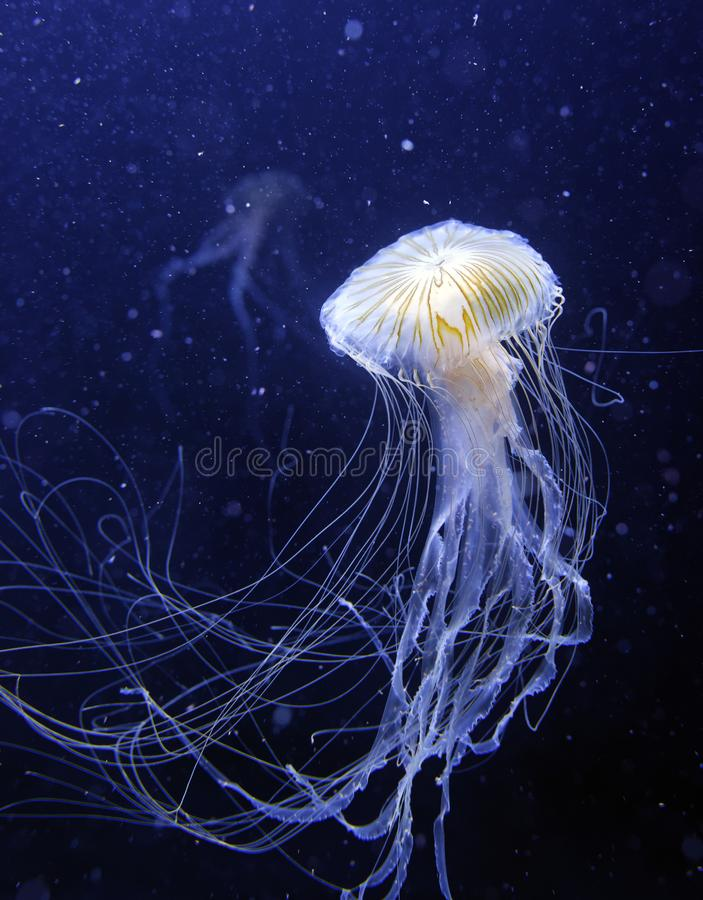 Jelly Fish stockfoto