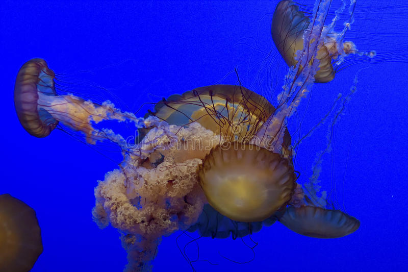 Download Jelly Fish Royalty Free Stock Photography - Image: 12689717