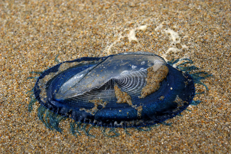 Blue bottle jelly-fish royalty free stock images
