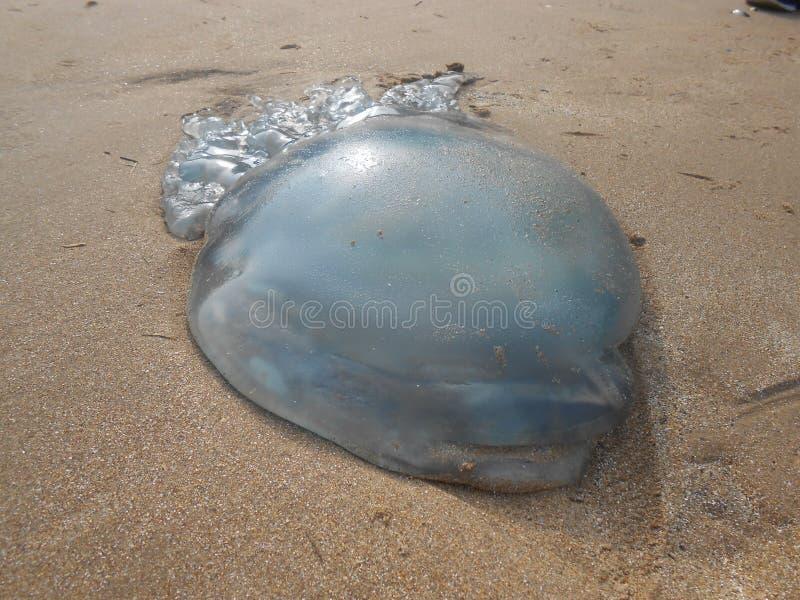 Jelly Fish lizenzfreies stockfoto