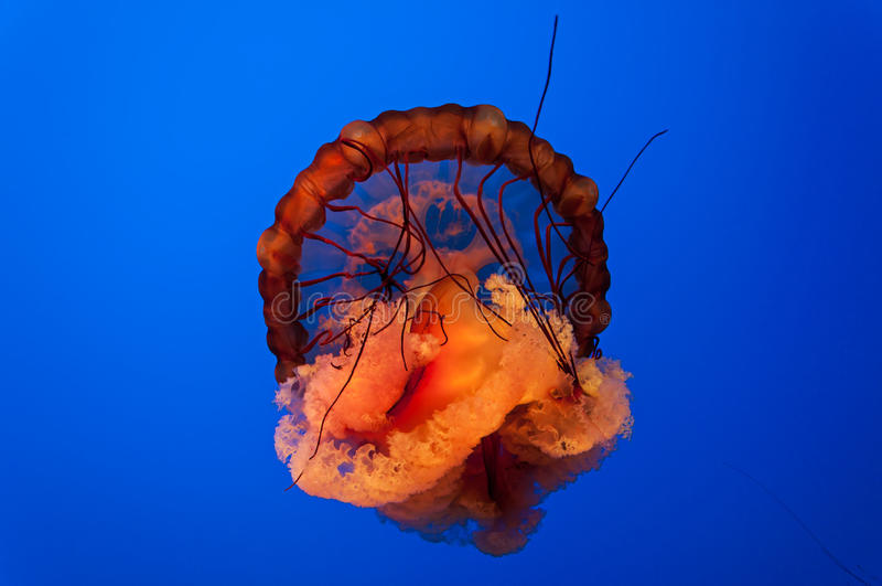 Jelly Fish foto de archivo libre de regalías