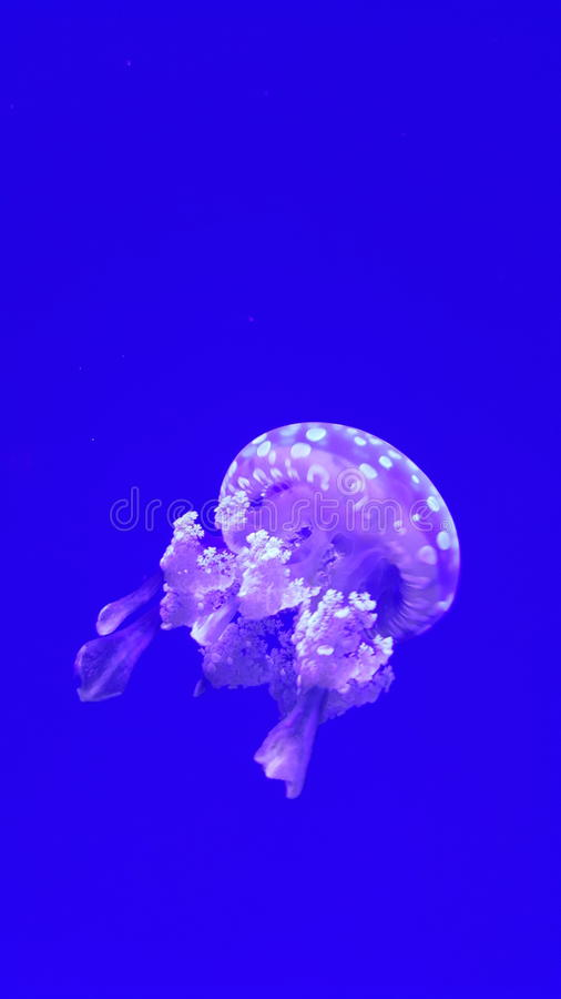 Jelly Fish photographie stock