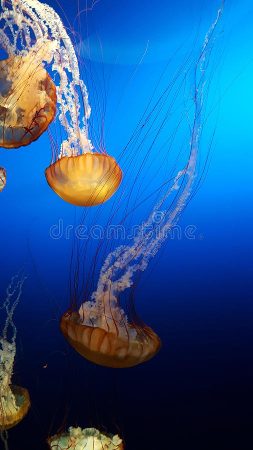 Jelly Fish image stock