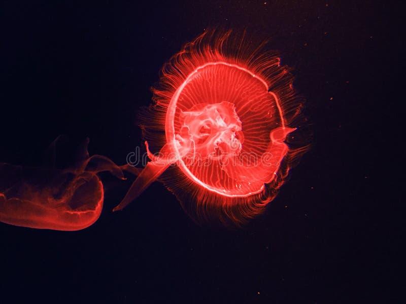 Jelly Fish immagine stock libera da diritti