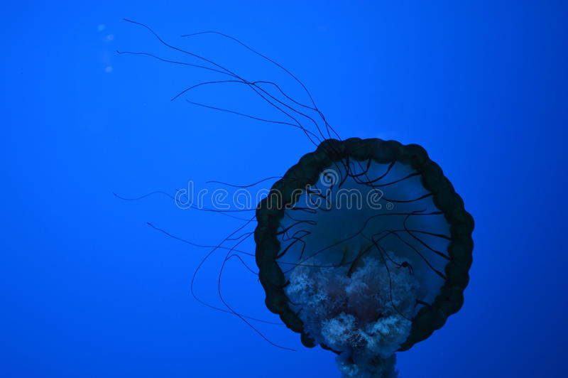 Jelly Fish fotografia de stock royalty free
