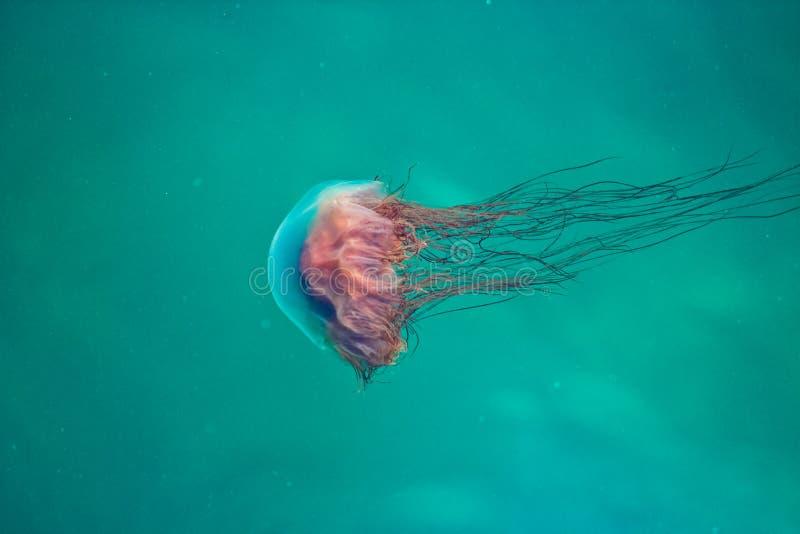Jelly Fish royaltyfri foto