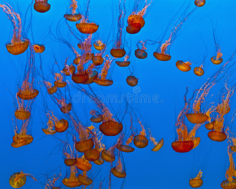 Jelly Fish In An Aquarium Stock Images