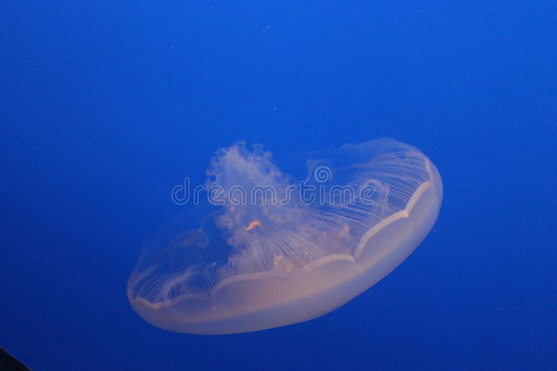 Jelly Fish in beautiful blue water royalty free stock images