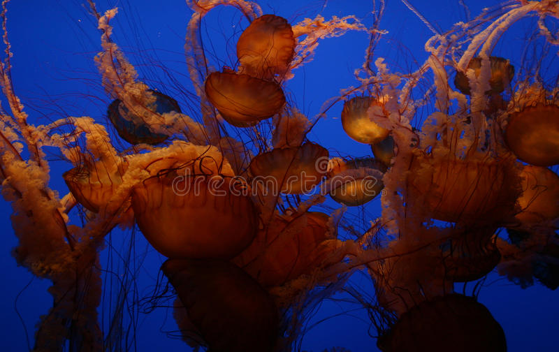 Jelly-Fish-Blue Stock Photography