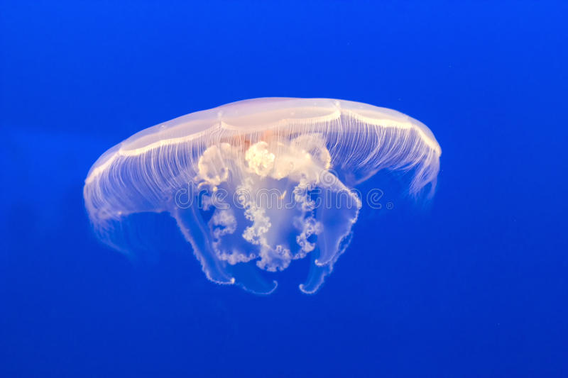 Jelly fish in the blue sea. Jelly fish in the deep blue sea stock photography