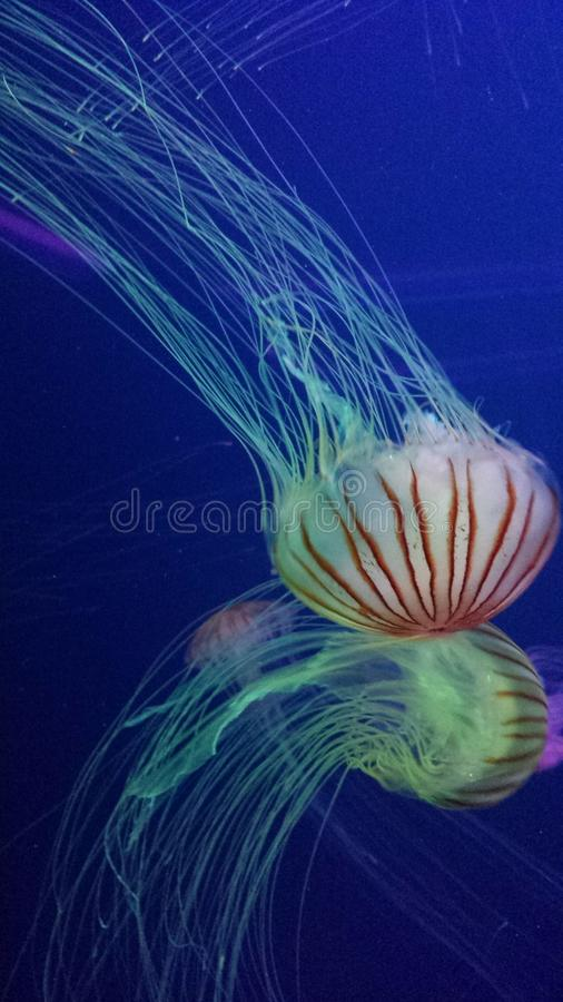 Jelly Fish in the blue sea stock photos