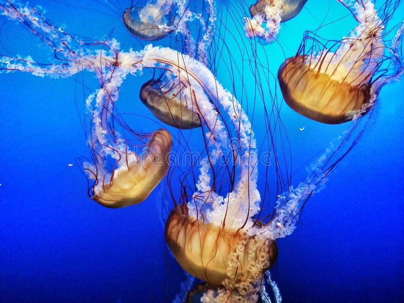 Jelly Fish in Blue Water royalty free stock photos
