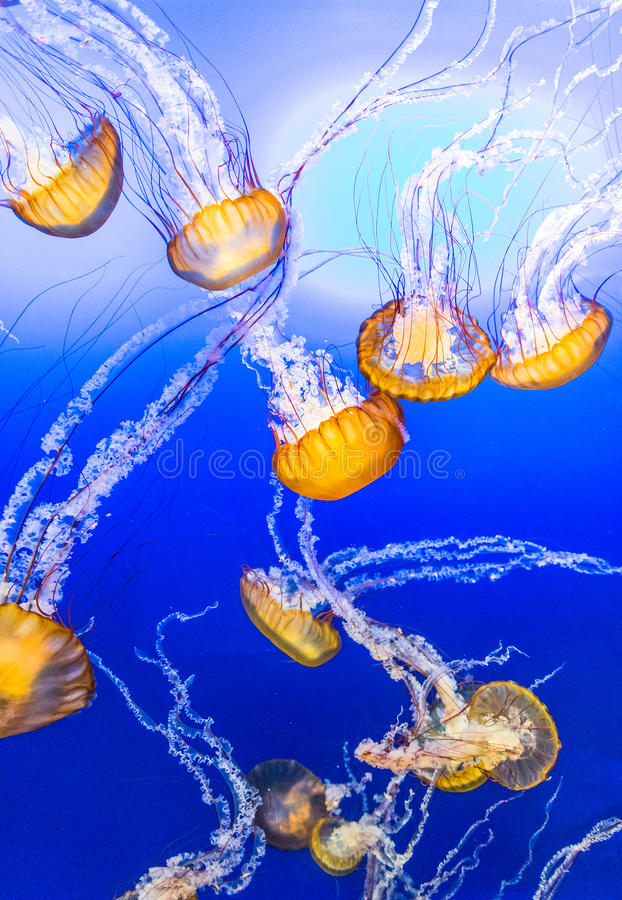 Jelly Fish in Blue Water stock photography