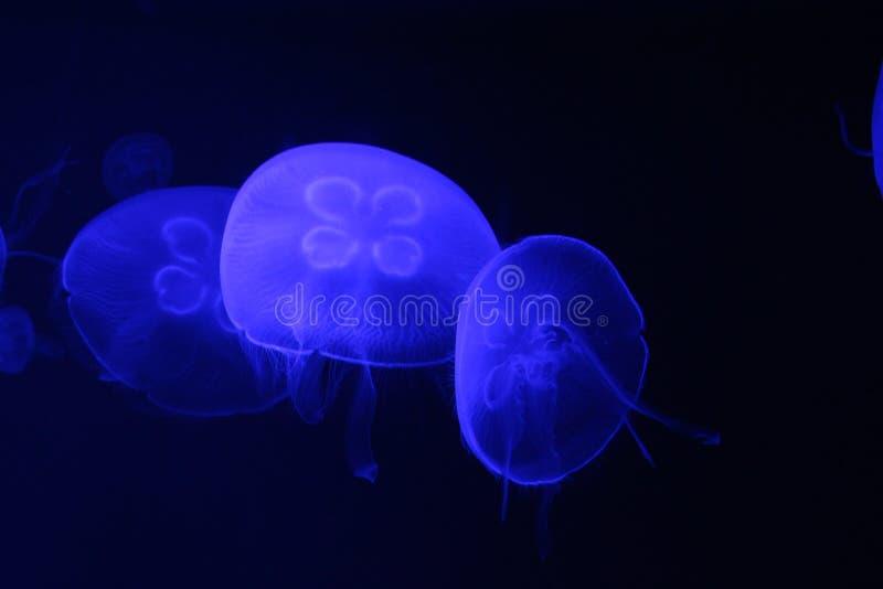 Jelly Fish photographie stock libre de droits