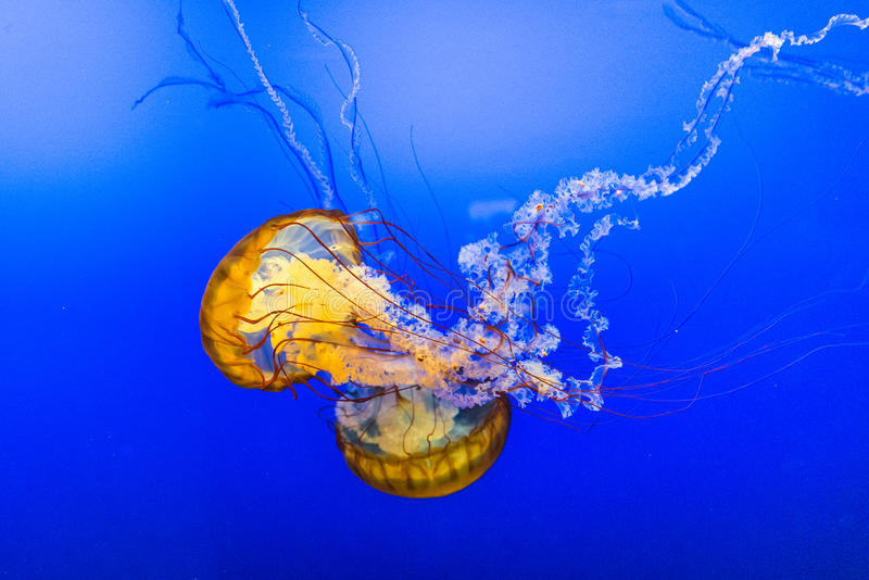 Jelly Fish en agua azul foto de archivo