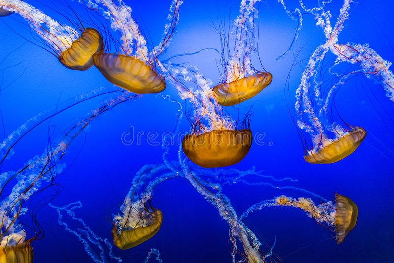 Jelly Fish en agua azul foto de archivo libre de regalías