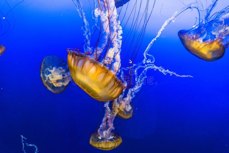 Jelly Fish en agua azul imágenes de archivo libres de regalías