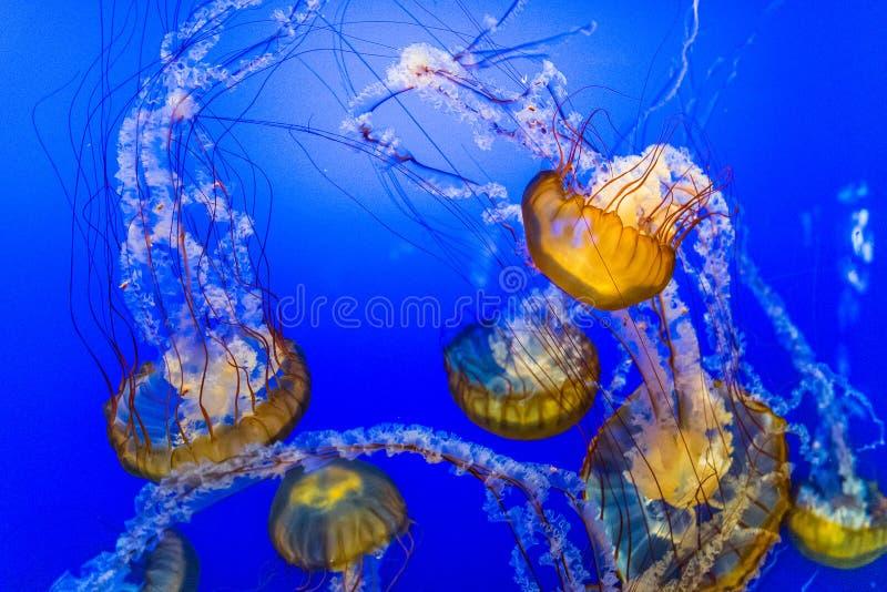 Jelly Fish en agua azul imagenes de archivo