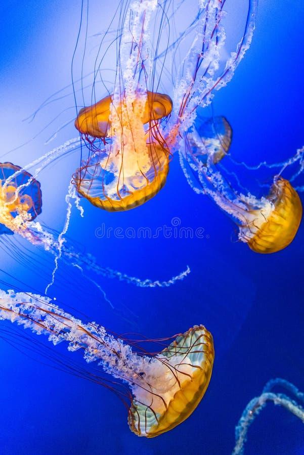 Jelly Fish en agua azul fotos de archivo