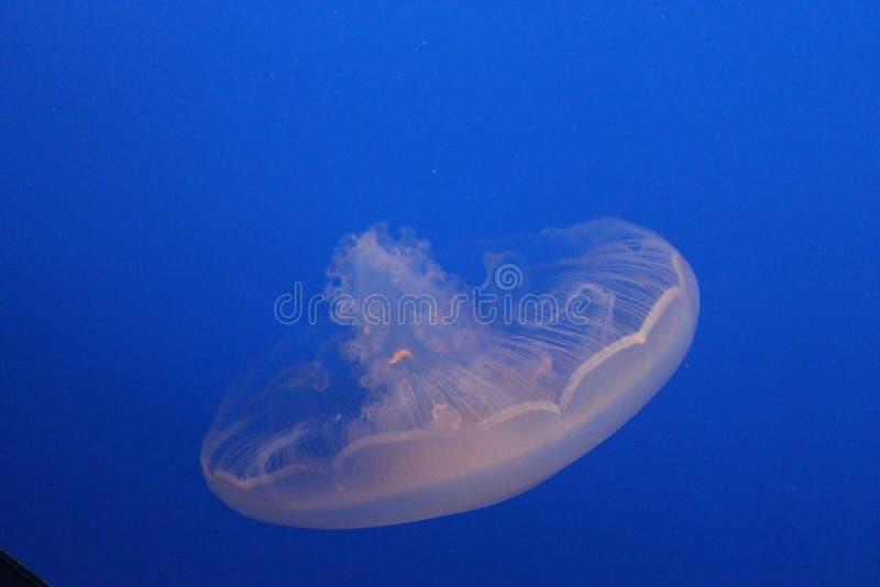Jelly Fish en agua azul hermosa imágenes de archivo libres de regalías