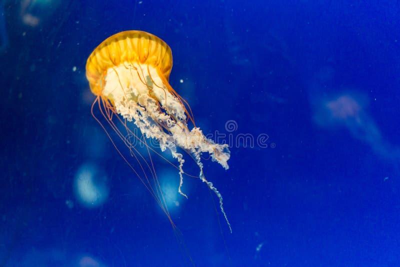 Jelly fish orange color. In blue sea stock photos