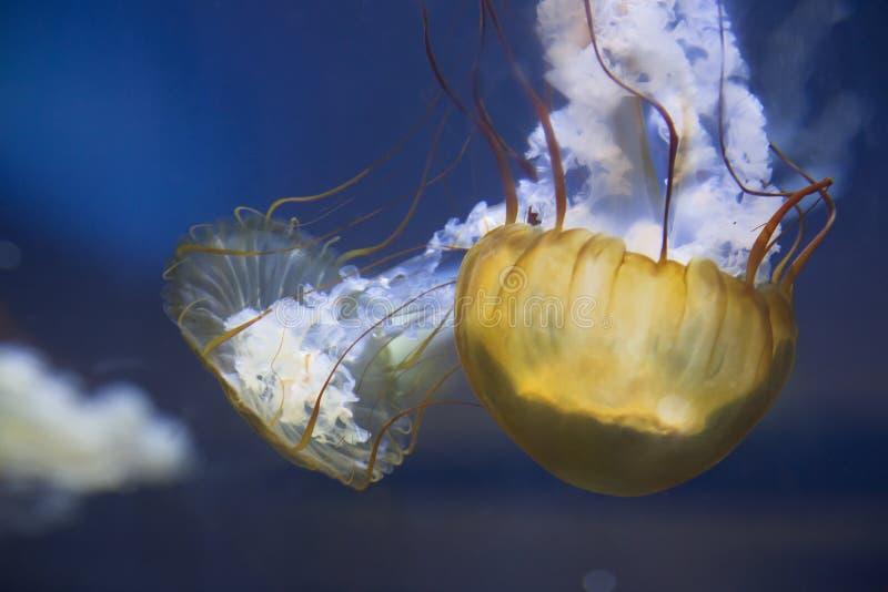 Jelly Fish Swimming imagen de archivo