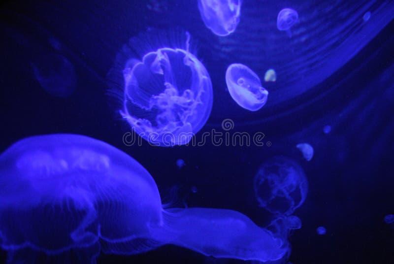 Jelly fish under a flourescent light in aquarium stock image