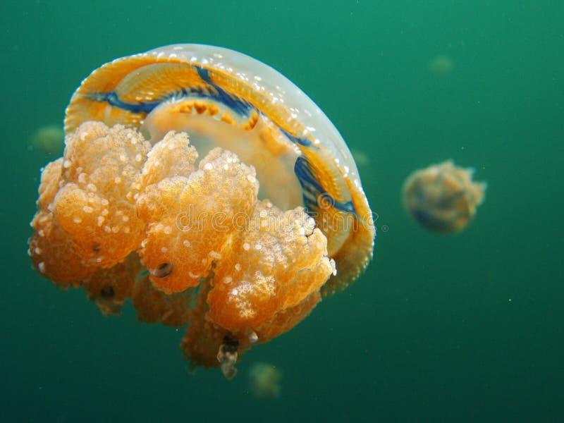 Jellyfish湖, Togean海岛,苏拉威西岛 库存照片