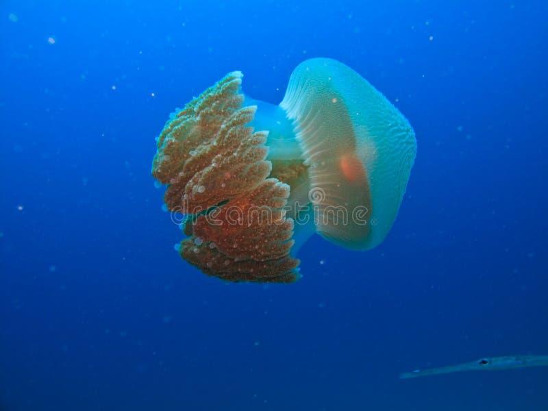 jellyfish κιβωτίων εμποδίων της Α&ups στοκ εικόνα