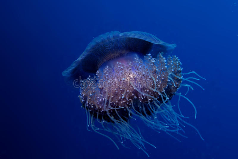Download Jellyfish κουνουπιδιών στοκ εικόνες. εικόνα από δαγκώματα - 22794180