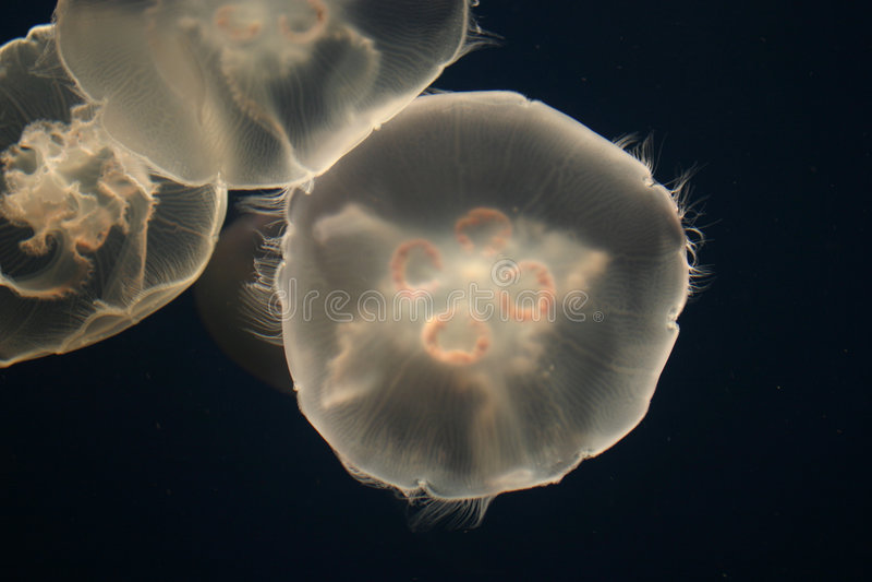 Download Jellyfish stock photo. Image of illuminated, jellyfish, backlit - 6272