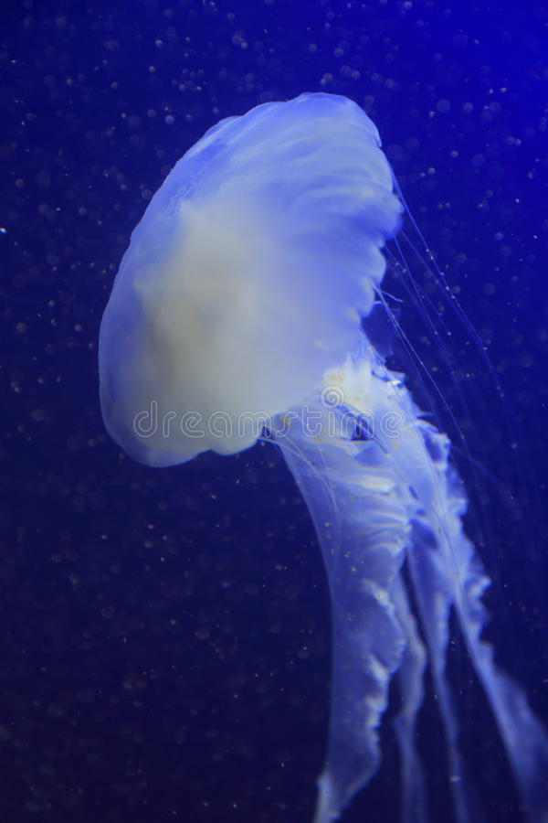 Download Jellyfish 1 stock image. Image of life, singapore, tentacles - 28425605