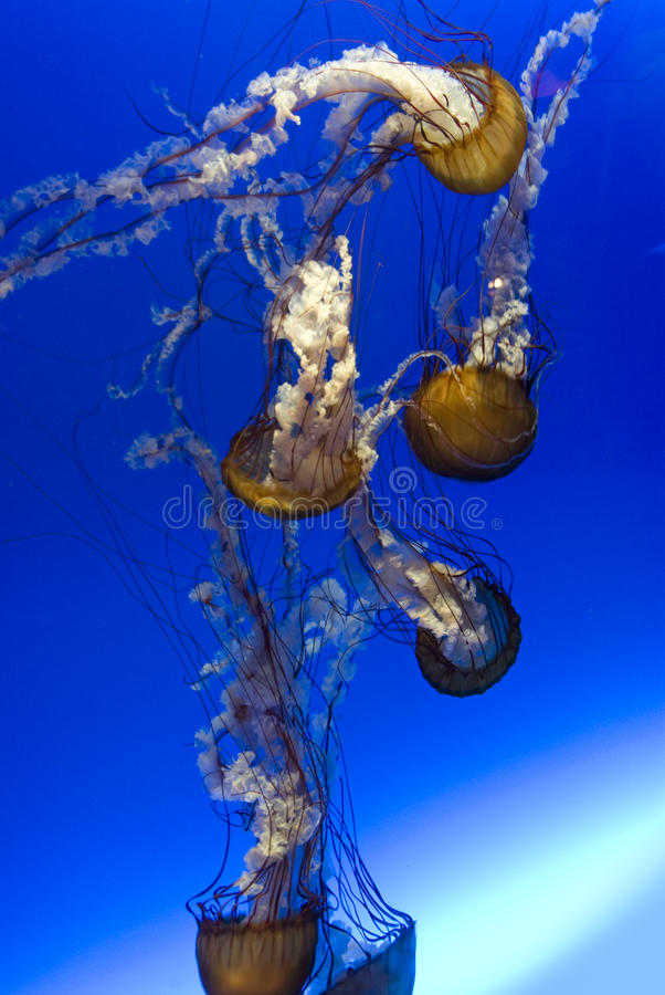 Download Jellyfish Royalty Free Stock Photo - Image: 13489305