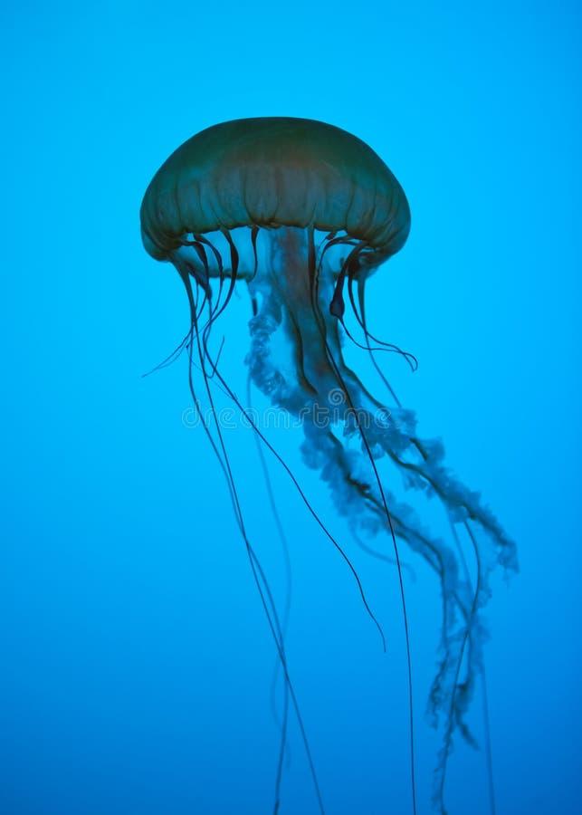 Jellyfish στοκ εικόνα με δικαίωμα ελεύθερης χρήσης