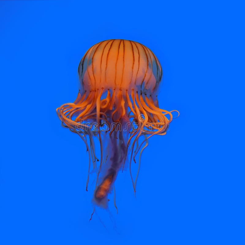 Free Jellyfish Stock Image - 14816231